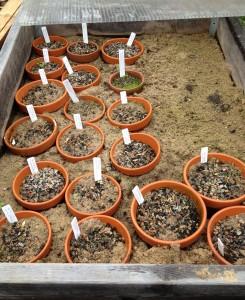 Fritillariasådd