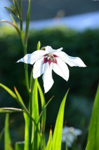Gladiolus callianthus